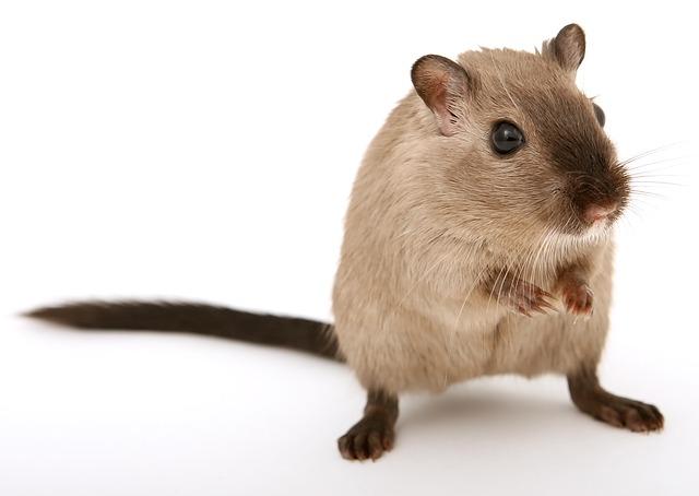 Musophobie- Peur des souris.
